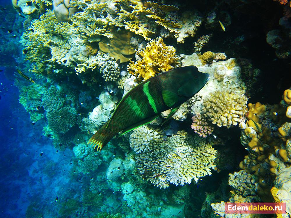 underwater lippfisch